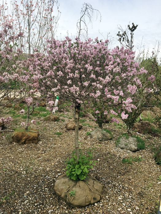 Ornamental Tree  - Great for Small SpacesBlooms Spring + Summer FlowersWildlife Magnet