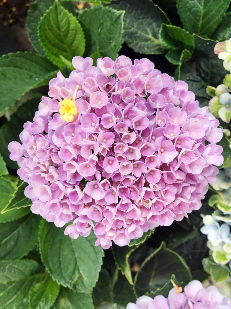 Hydrangea Everlasting Revolution Bloom.jpg