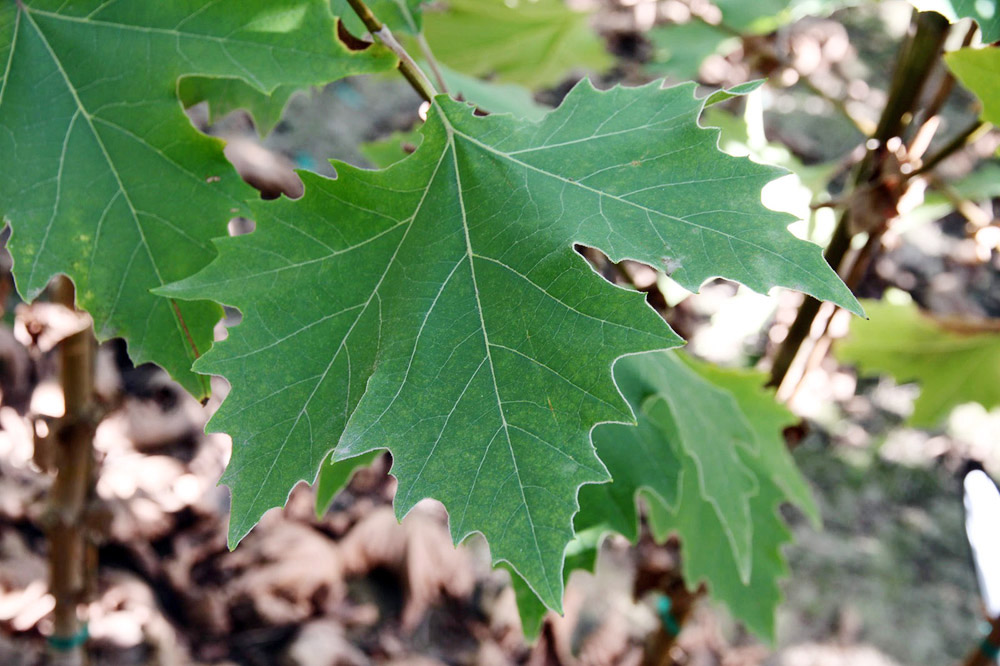 Exclamation Planetree Leaf.jpg