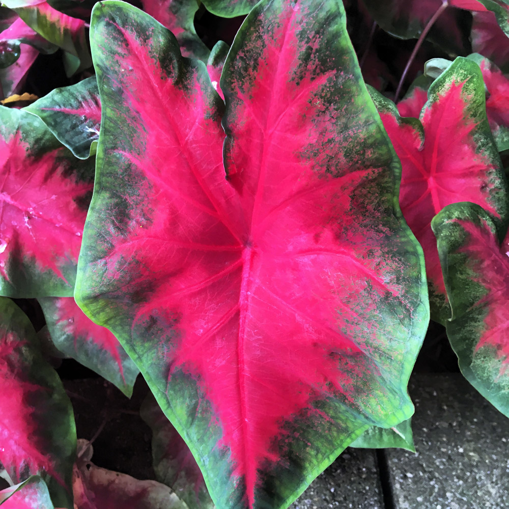 Calladium Tropical.jpg