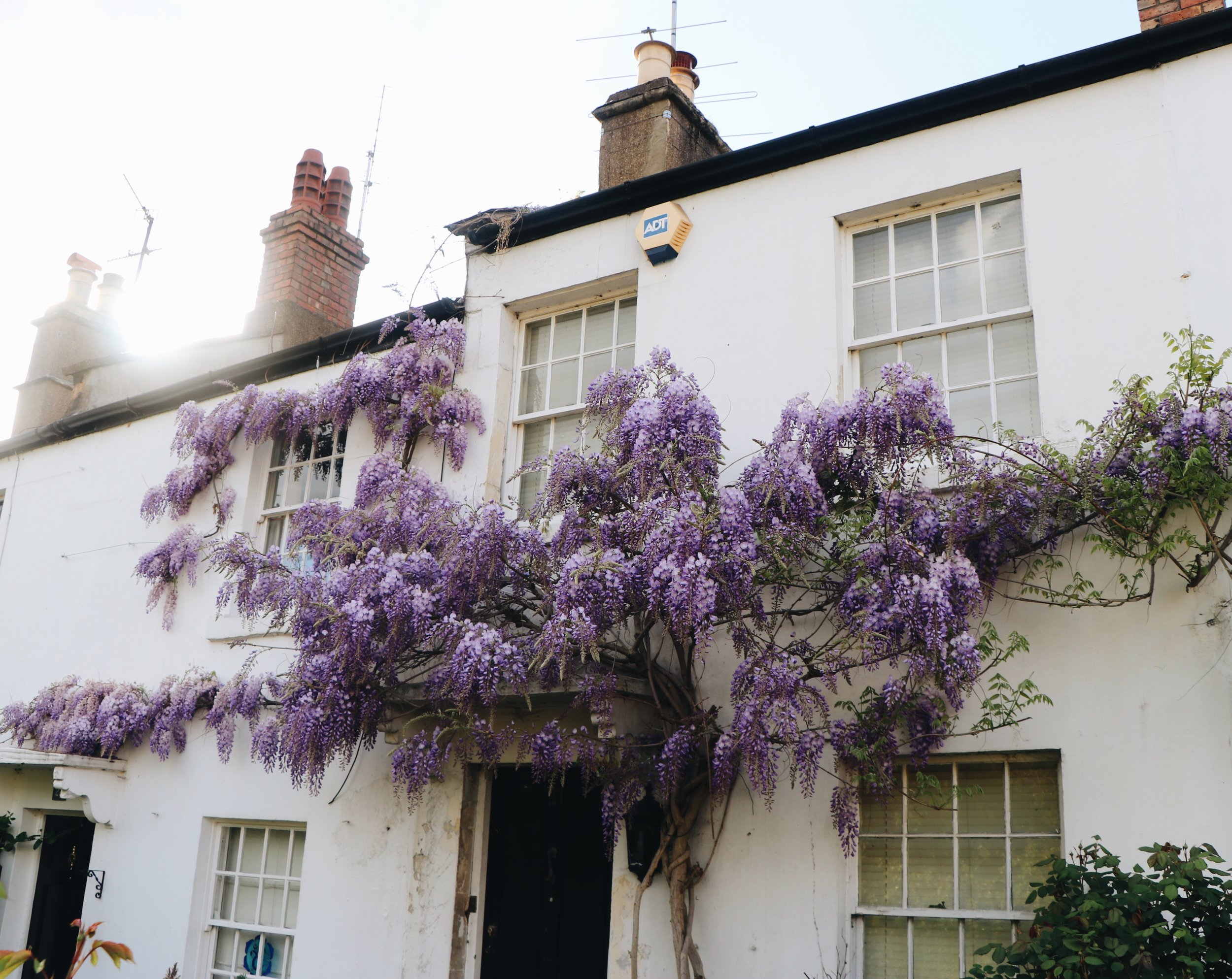 Wisteria in Richmond