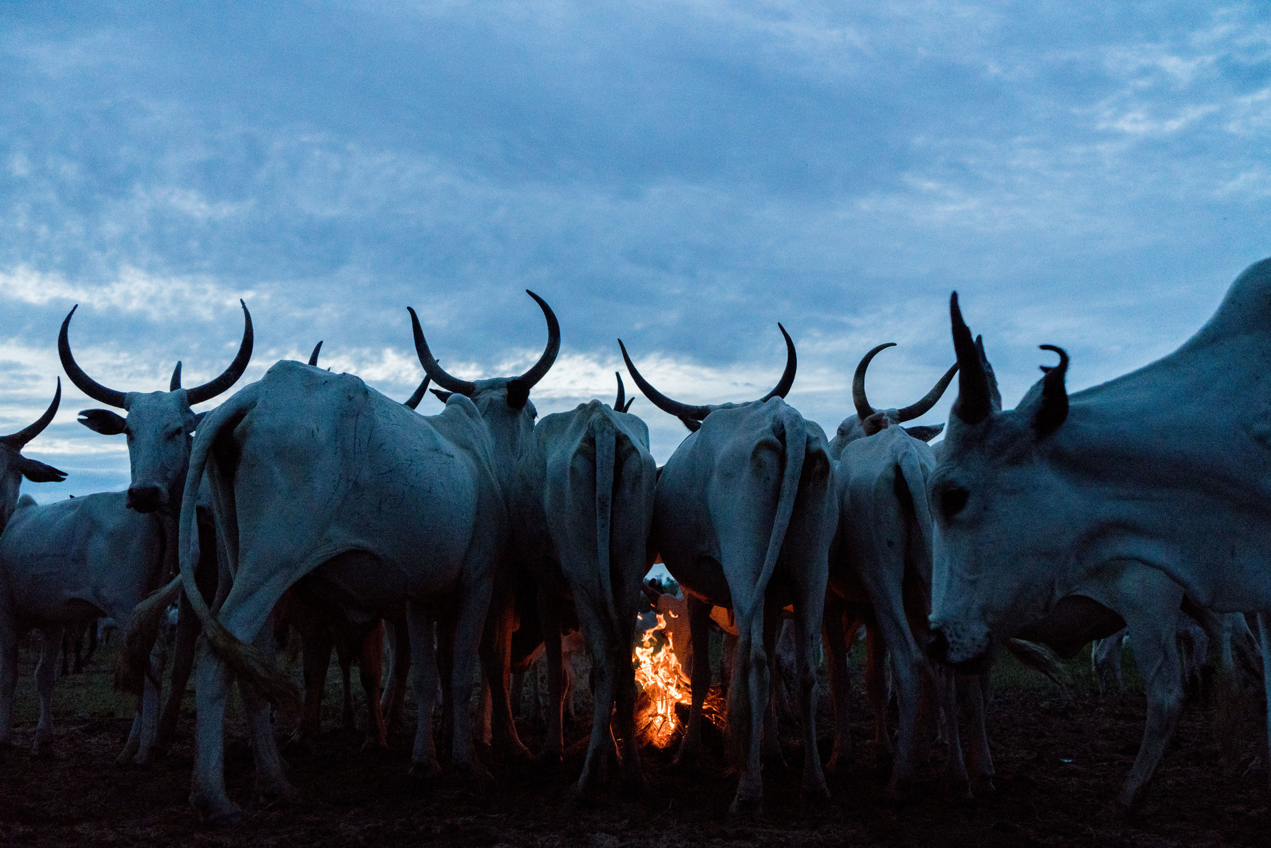ADRIANE OHANESIAN  www.adrianeohanesian.com  |  @adrianeohanesian   As the sun sets and the cows return to the camp Fulani herders build fires in Feji, Nigeria, on August 30, 2018. In the first six months of this year, clashes between farmers and herders killed an estimated 1,300 people, six times the number who died in the war with the Islamist extremist group Boko Haram in the same period.