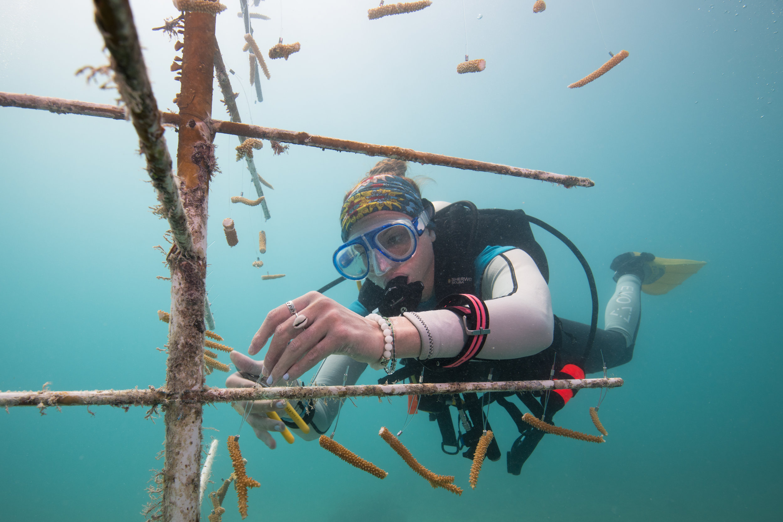 JENNIFER ADLER  www.jenniferadlerphotography.com  |  @jmadler   Rebecah Delp hangs pieces of staghorn coral ( Acropora cervicornis ) on a coral tree in Dry Tortugas National Park. The corals hang like ornaments on a Christmas tree, but unlike their coniferous counterparts, these trees stay decorated for a year as the corals grow. When a year is up, scientists return and cut the corals from the trees to plant on nearby reefs.   From The Nature Conservancy:    Nurseries Restore Staghorn Coral in the Florida Keys