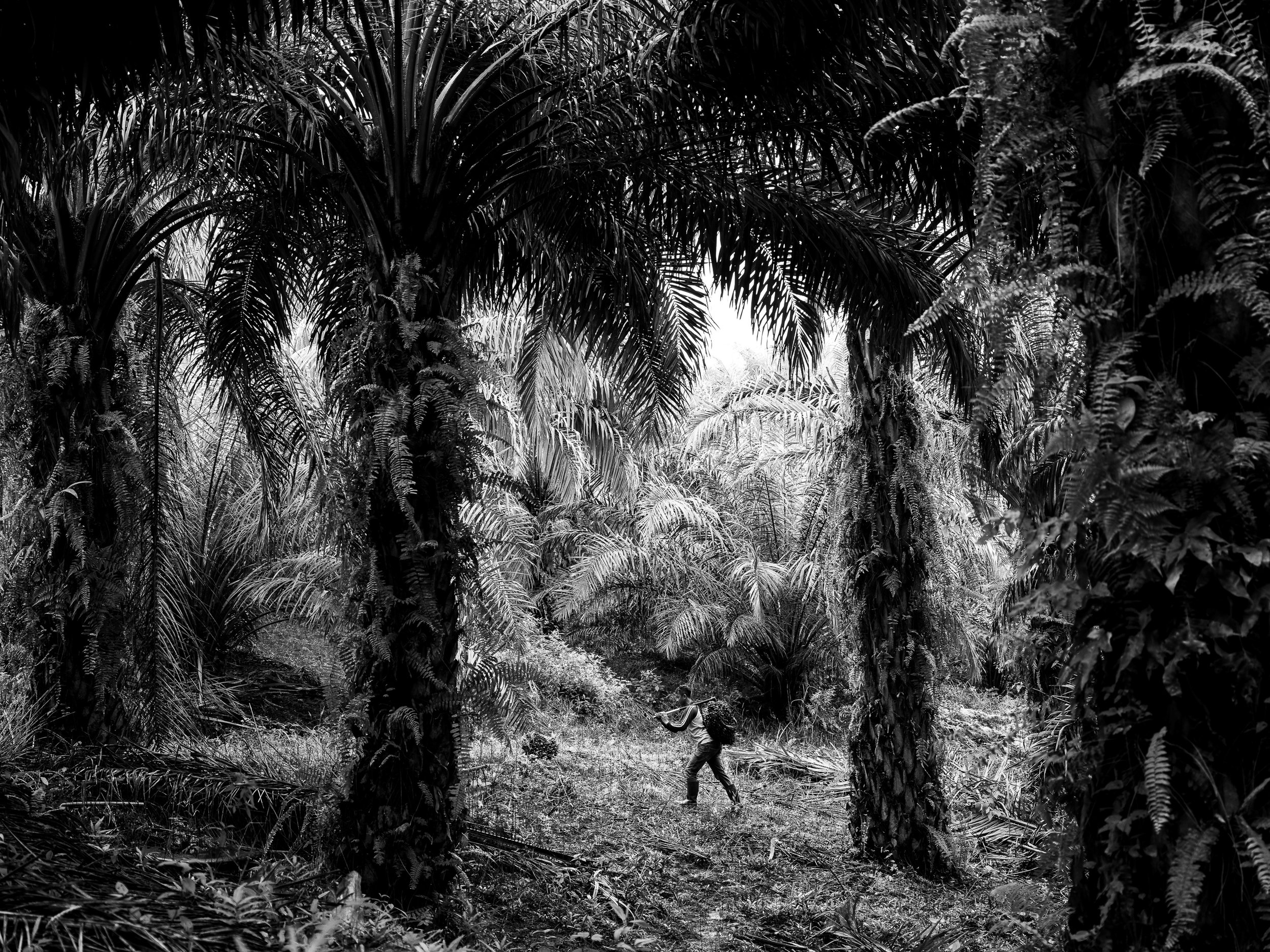 XYZA CRUZ BACANI  www.xyzacruzbacani.com  |  @xyzacruzbacani   Puryito carries a palm fruit on a plantation in Kandis, Riau, Indonesia. Puryito is the brother of Sunil and their whole family works in plantations.