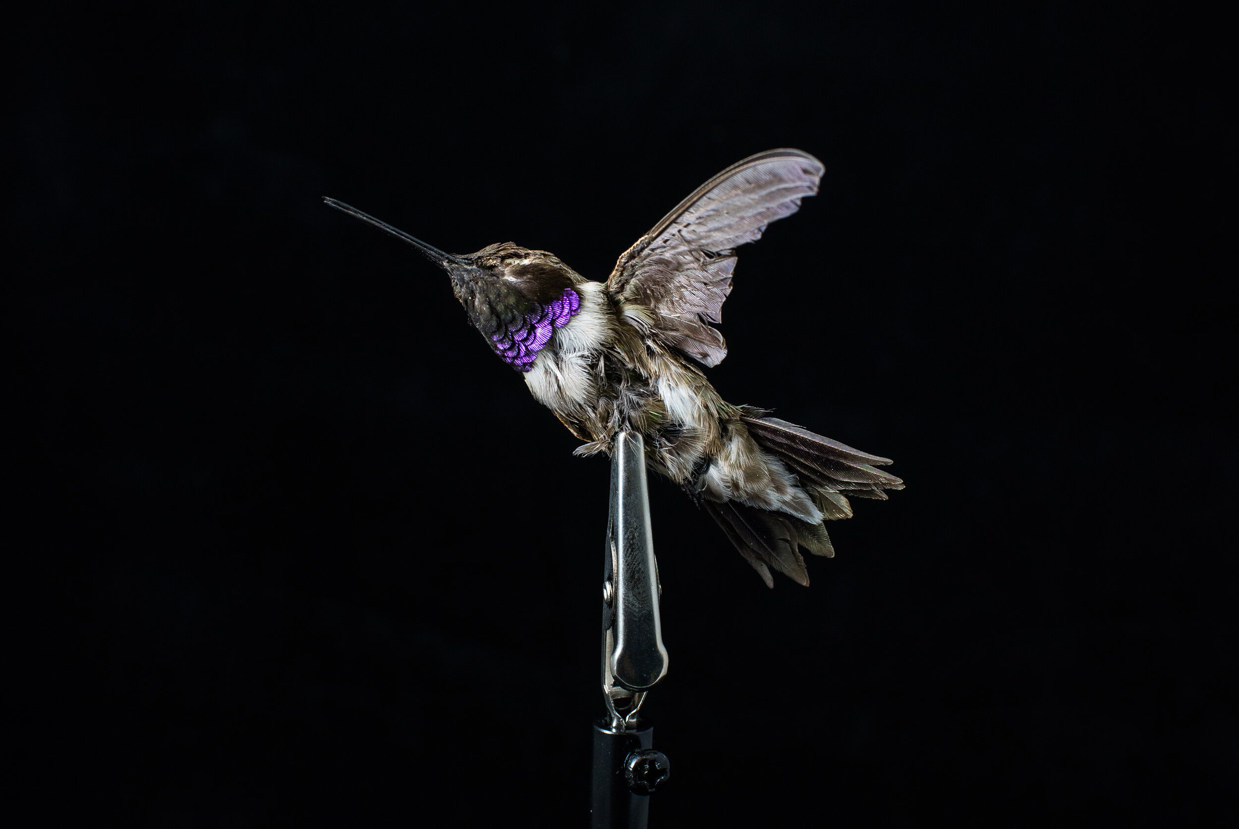 Portrait of a dead hummingbird at the U.S. Fish & Wildlife Service Forensics Laboratory; the only full-service Lab in the world dedicated to crimes against wildlife.
