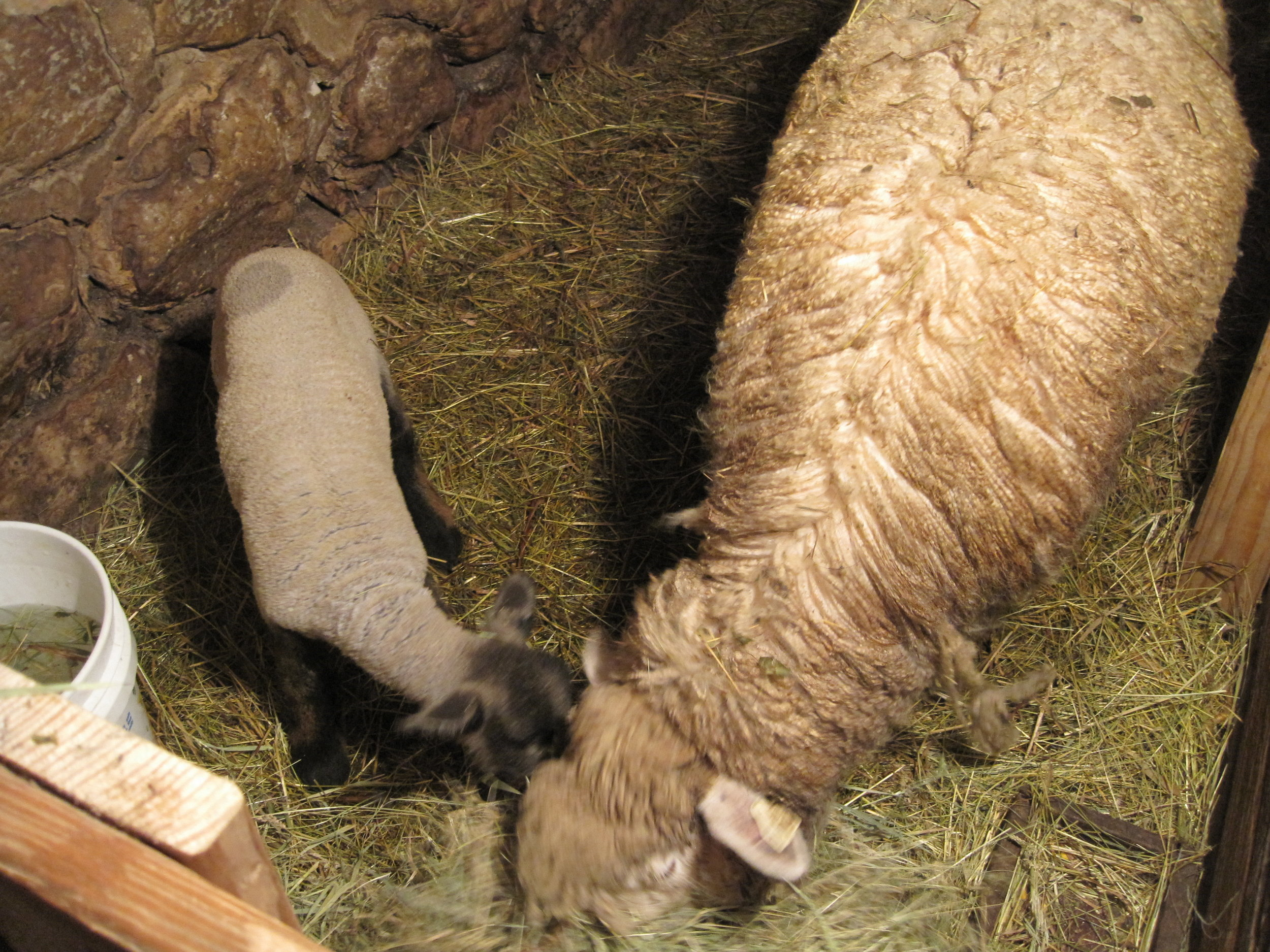 First lamb of 2018, born February 1. Mother and baby are doing just fine.
