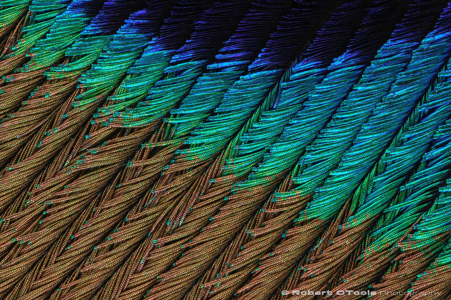 Peacock feather detail. Uncropped 6 image stack shot on a macro stand. Plan 4x Objective on Nikon D500 1/60s manual mode ISO 64 two flash units at 1/64 power.