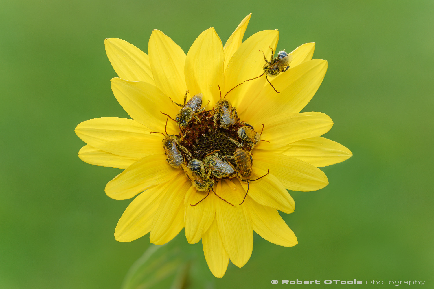 Male long horned bees, Melissodes sp., sleeping together in a sunflower at Madrona Marsh, Torrance California. This final image is made up of 3 images stacked.  Sigma 150mm Macro lens Nikon D810 Single SB-R200 flash with diffuser 1/30s f/8 ISO 100 Acratech Ballhead and carbon fiber tripod.