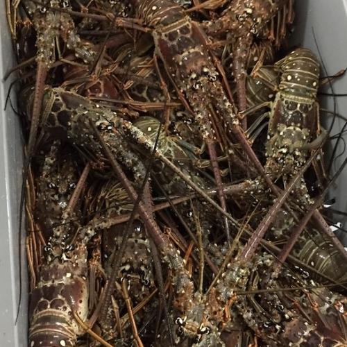 Belize lobster image