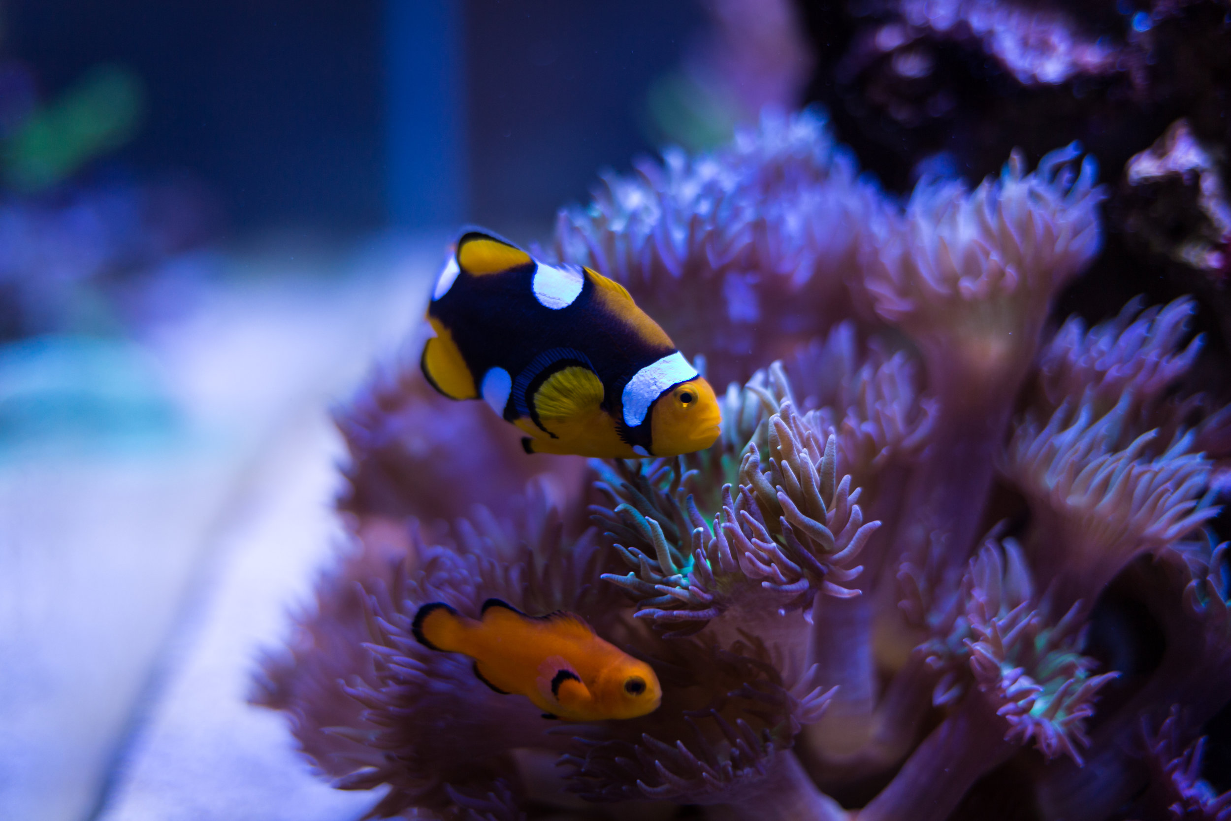 Our two clownfish. Onyx clown above, naked clown below.