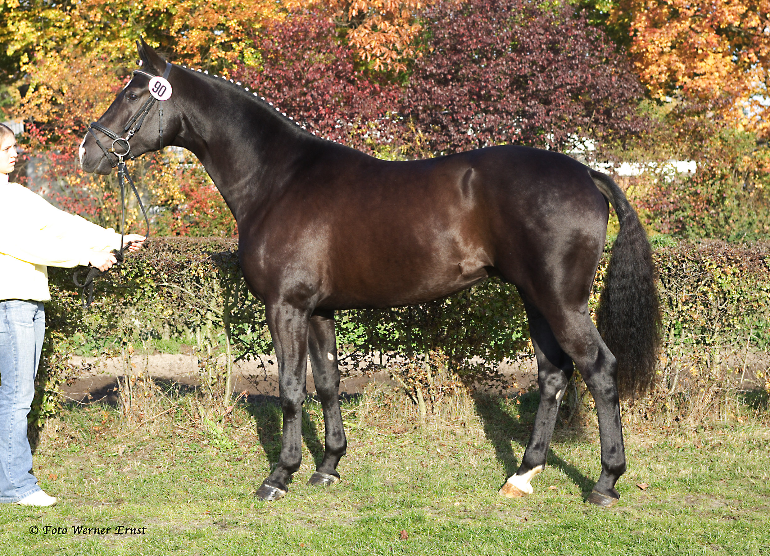 16.2h Black Elite Hanoverian Stallion Approved by: VhW & AHS