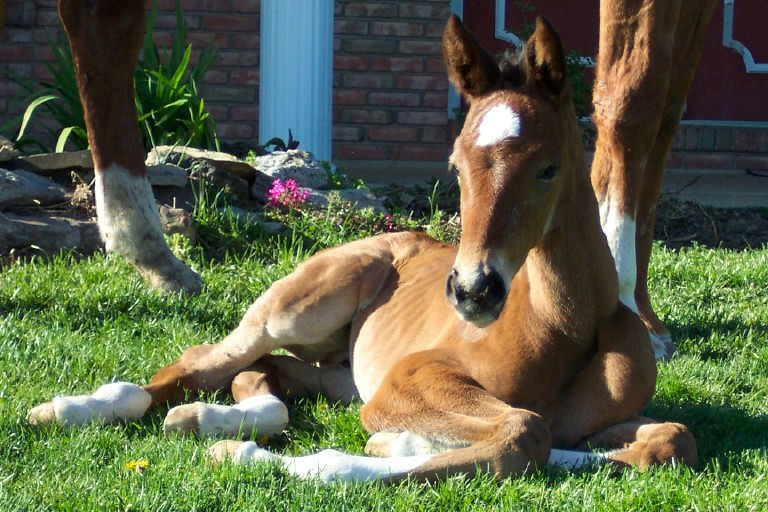Corlando filly out of Glory (TB) Bred by Windy Ridge Farm
