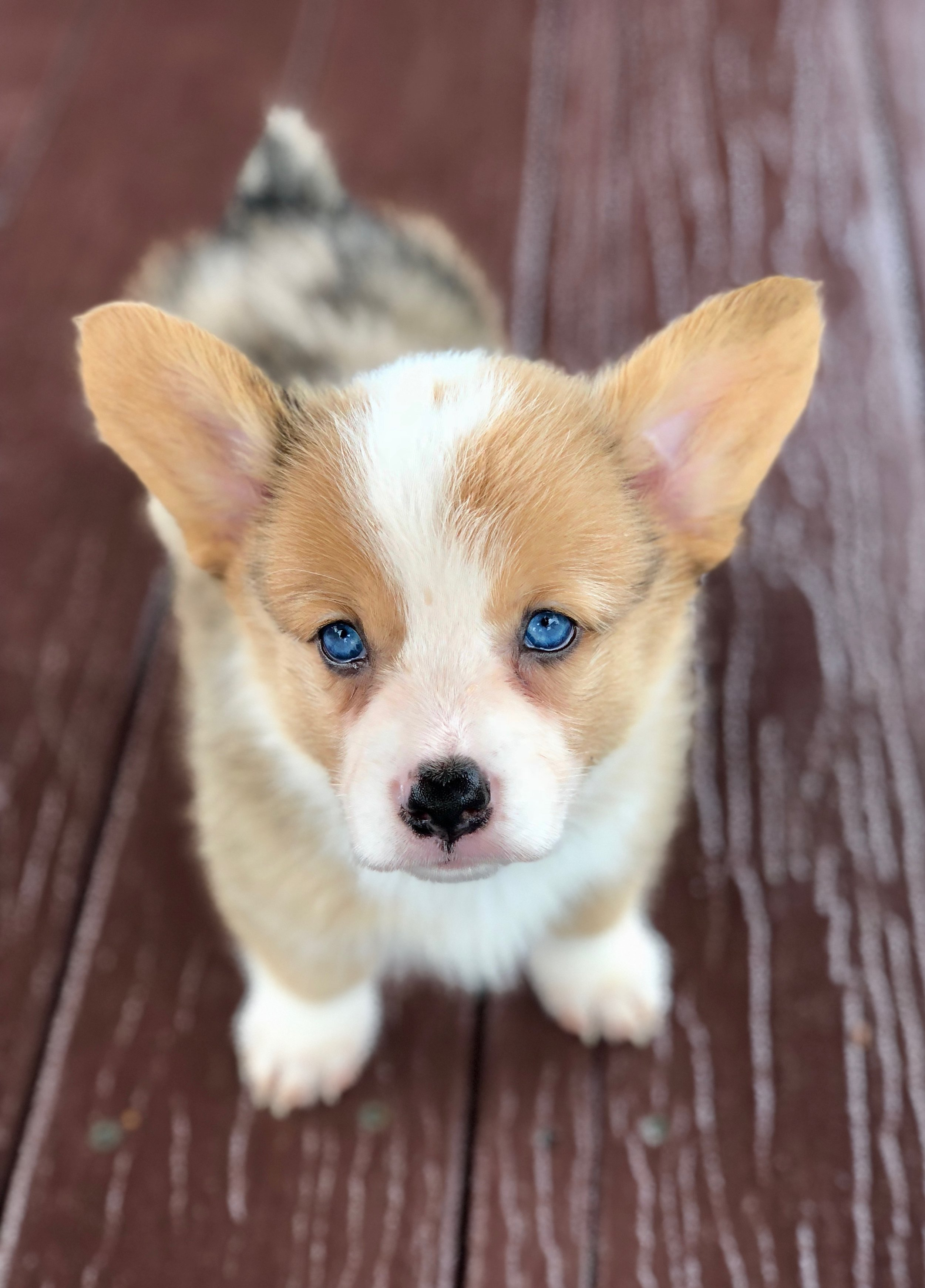 Baby Blue pup blue eyes.jpeg