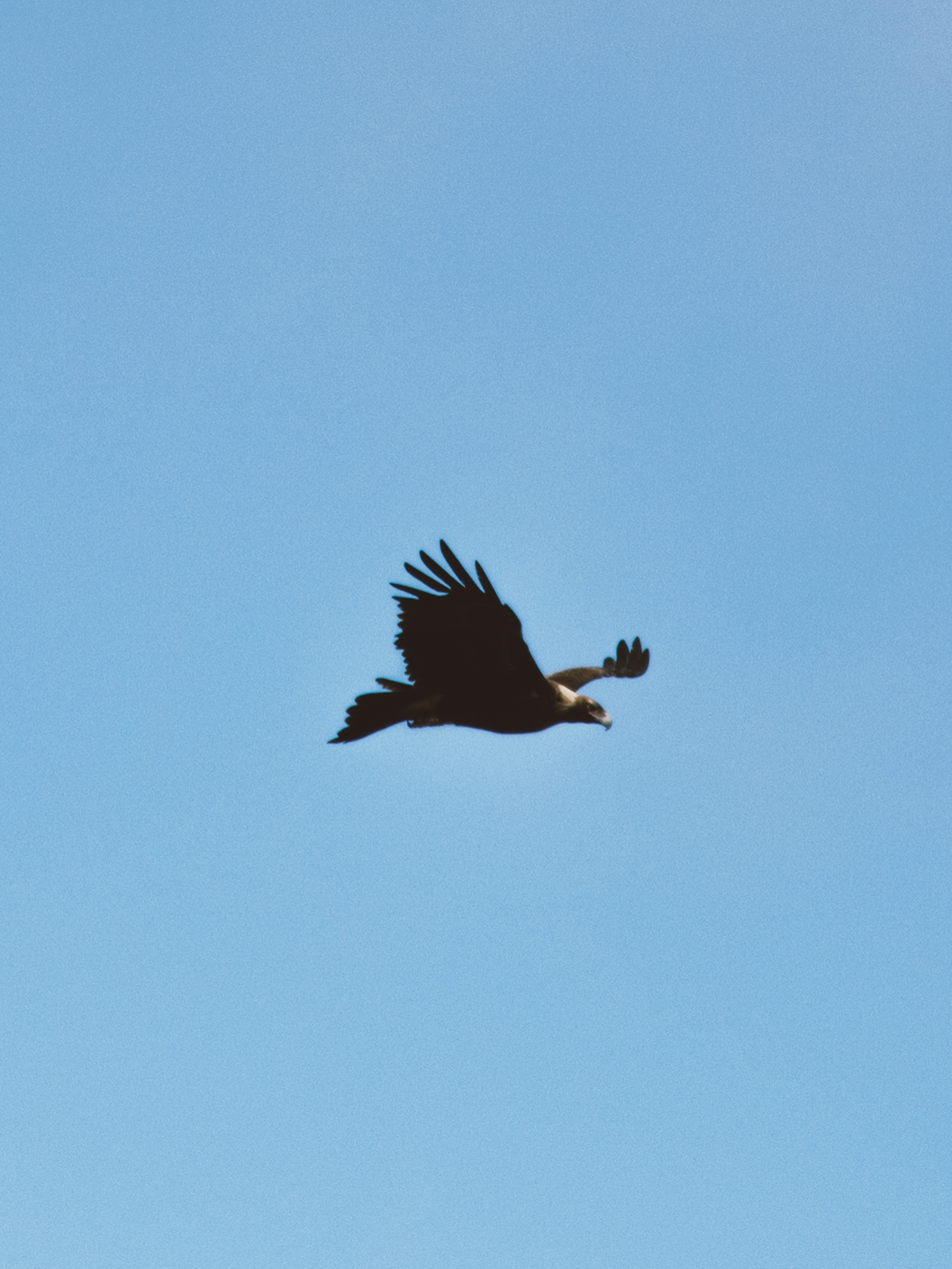 Wedge-tailed Eagle.jpg