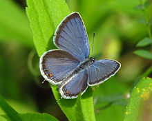 220px-Eastern_Tailed-blue.jpg