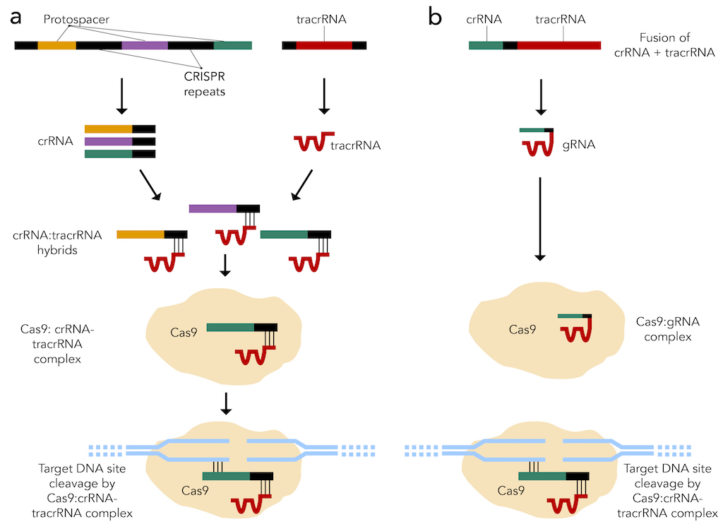 Figure 2: CRISPR-Cas9 systems that are (a) present in nature and (b) created synthetically.