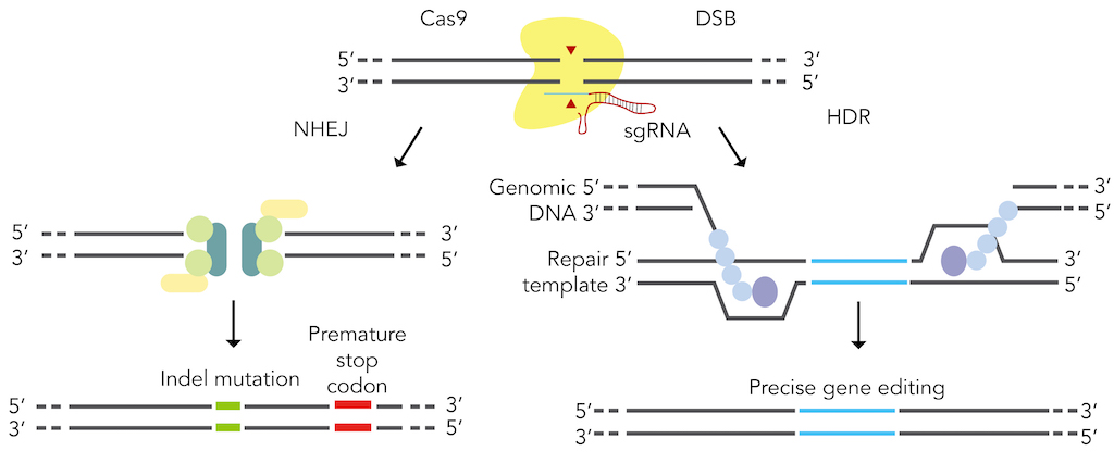 Figure 4: Genome editing through using canonical DSB repair pathways.