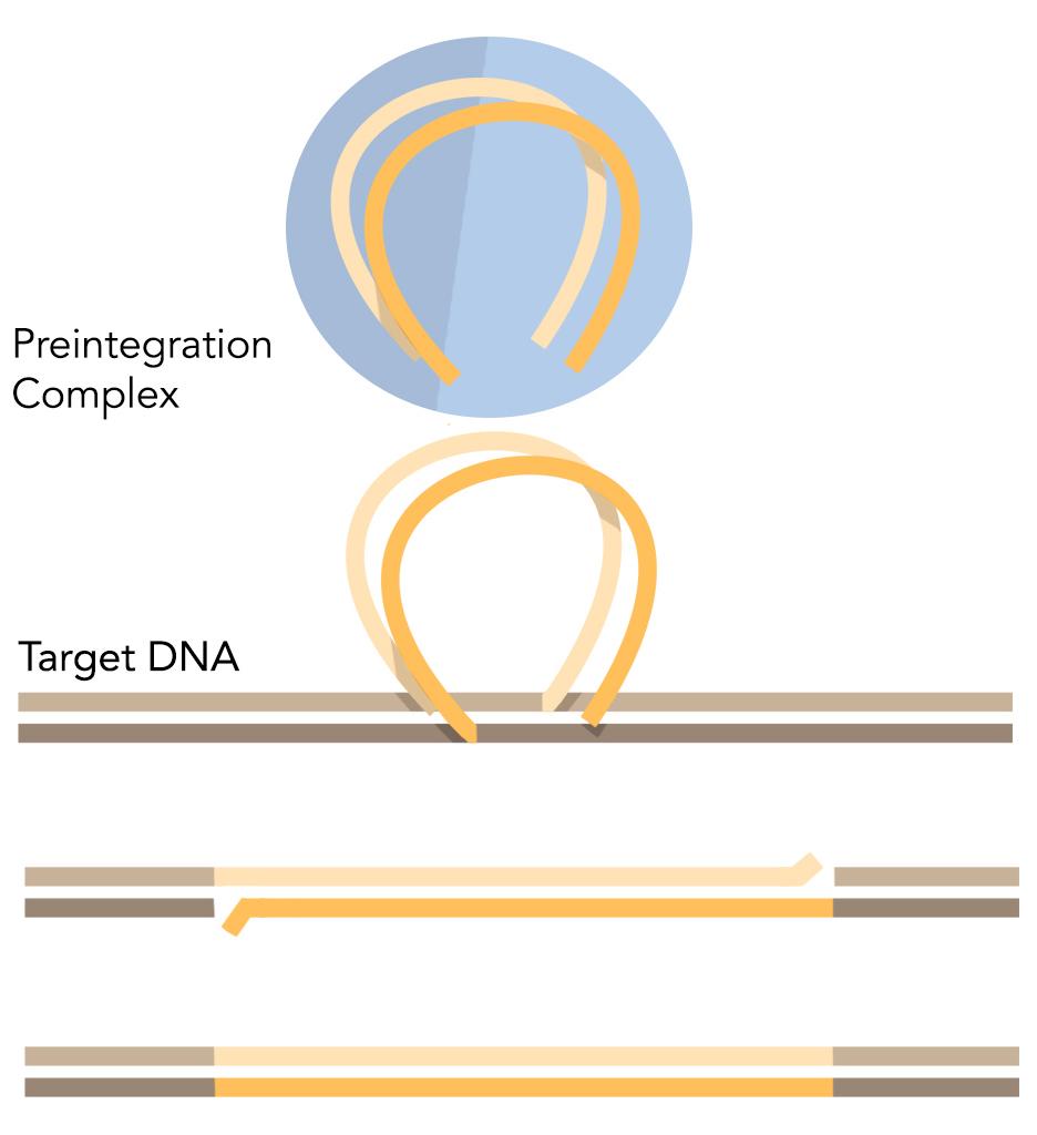 Figure 1: Integration of retroviruses into the genome.