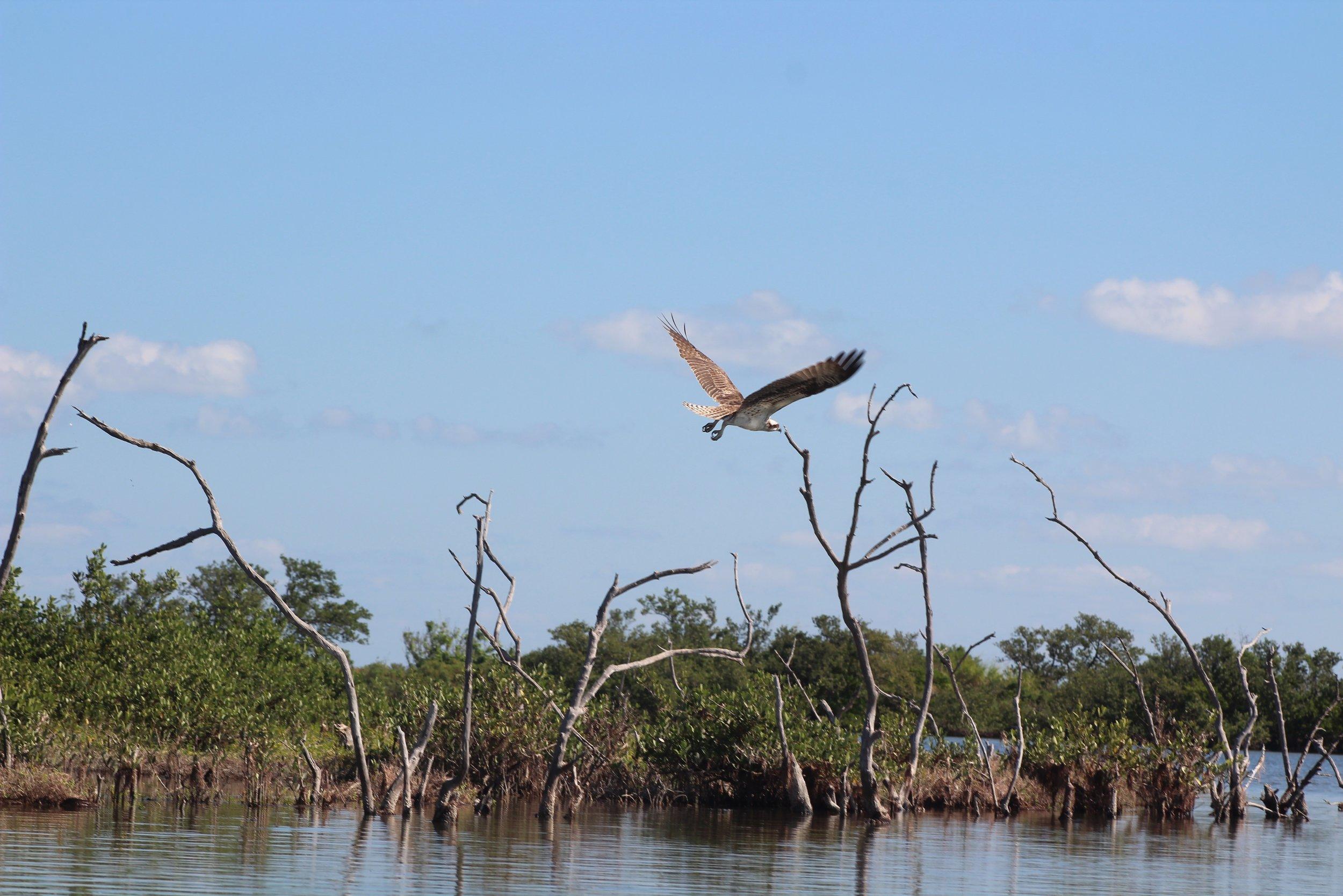 Osprey in Mosquito Lagoon