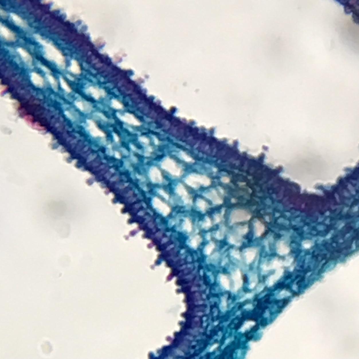 Coprius fungi - releasing spores ~ 140X magnification.