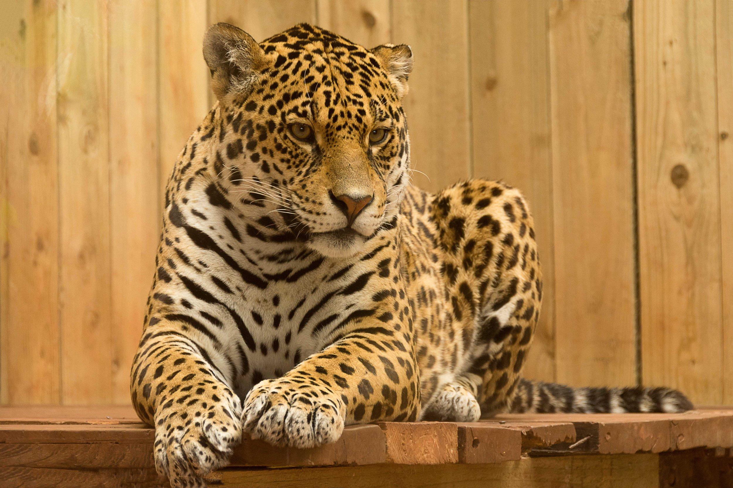 nature-animal-wildlife-zoo-cat-feline-1026086-pxhere.com.jpg