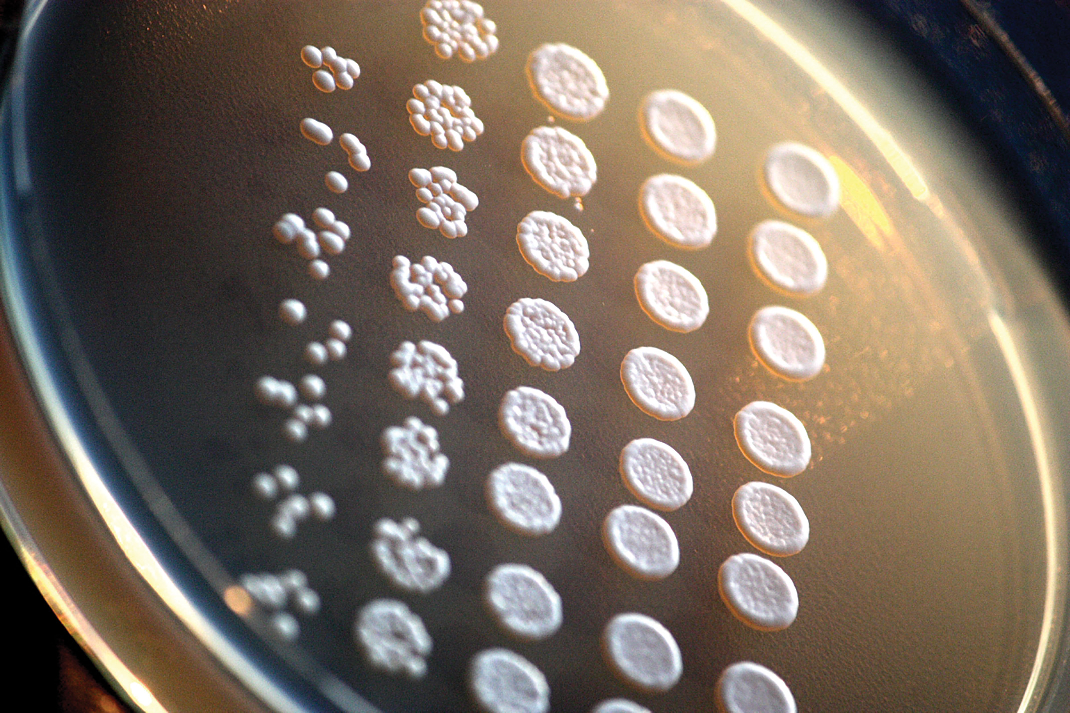 These baker's yeast cells have genetic similarities to human cells. Credit:Rainis Venta