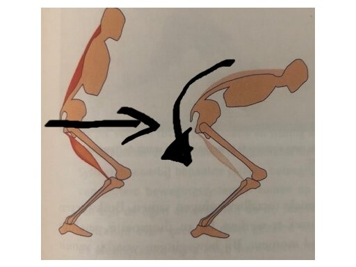 Left: fixated pelvis. Hip extends. Right: posterior tilting of the pelvis, pelvis further tilts.