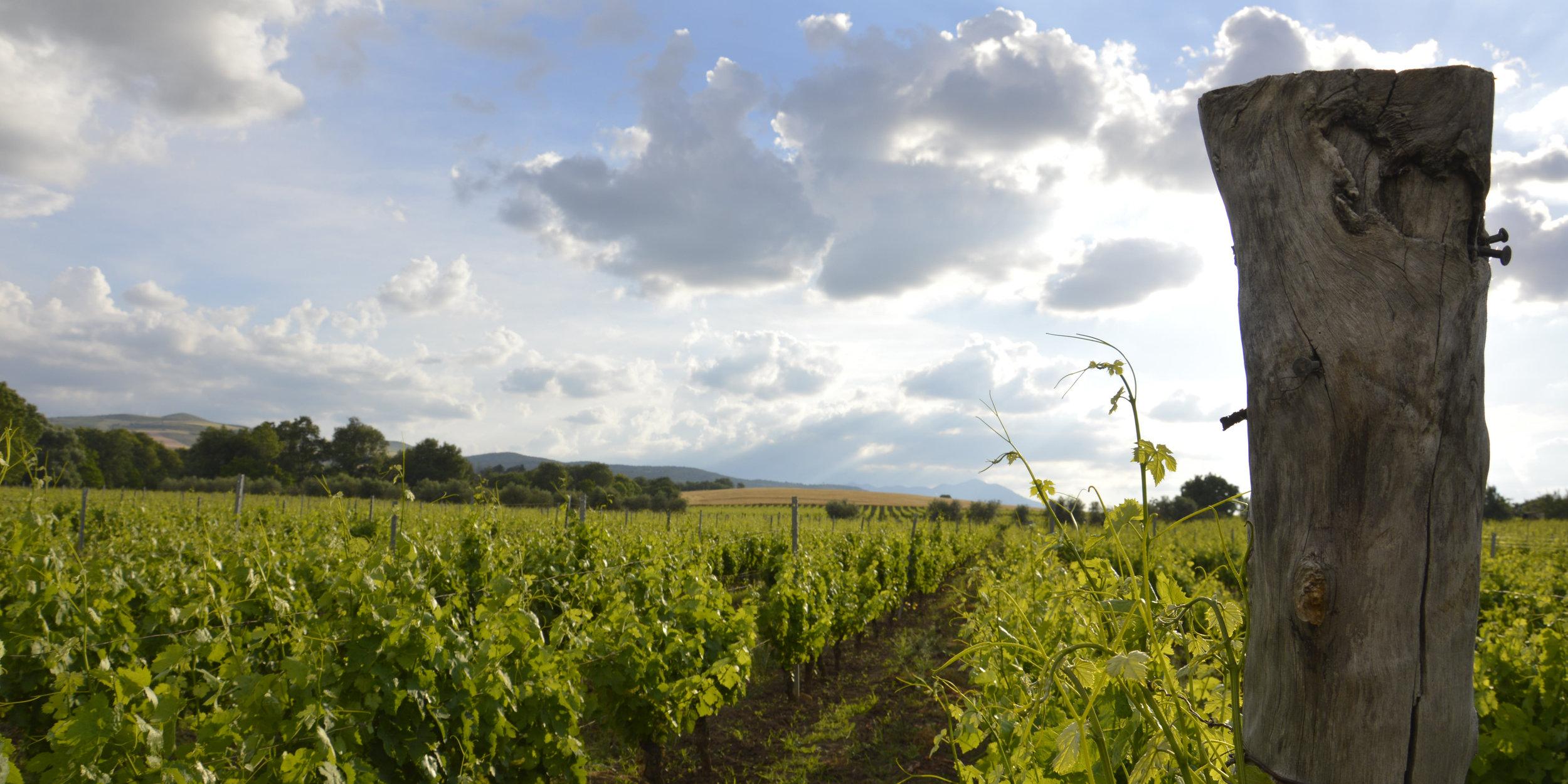 1 growing season 2016 liscone vineyard.JPG