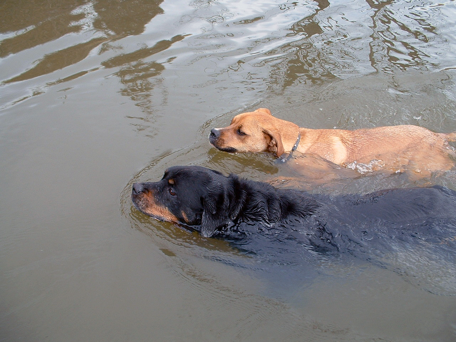 1_Pets and ponds_Dogs Swimming.jpeg