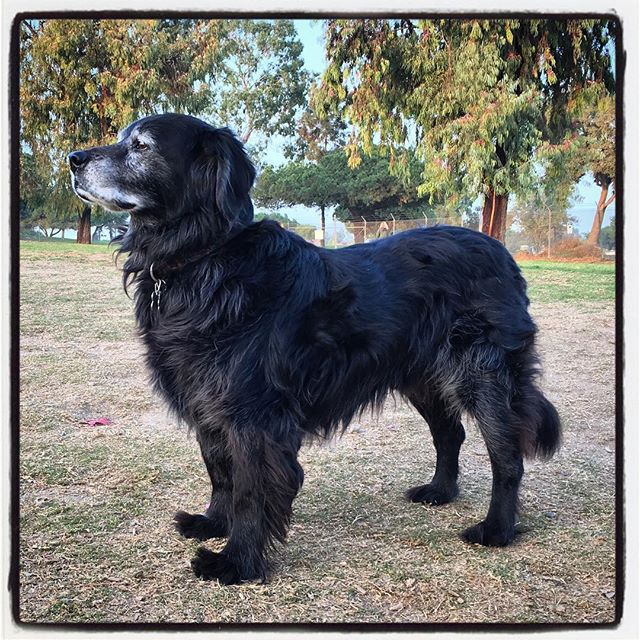 Chester back at the park. Not bad for 16-years. #dog #dogpark #nevergetsold #arbordogpark #losalamitos