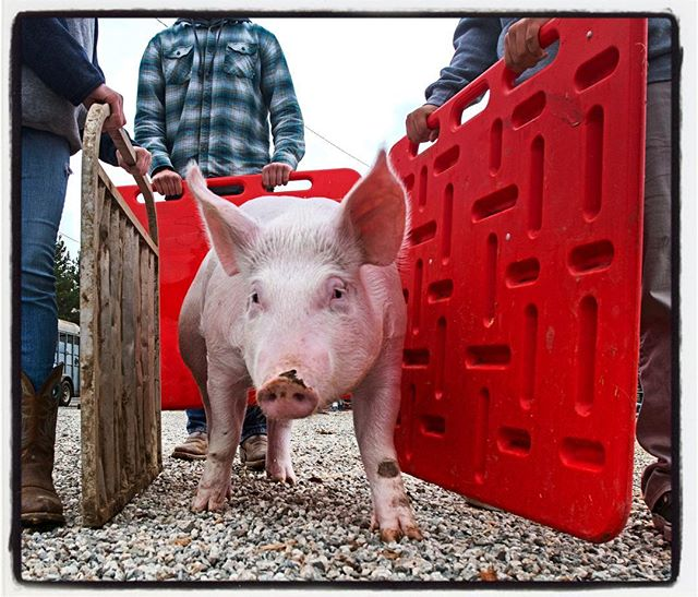This little piggy went to the Hillside Winter Classic Livestock Show at Sunny Hills High School Sunday. #thatwilldopig #futurefarmersofamerica #nikon #d500 #nevergetsold