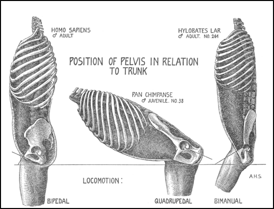 Figure 14 from Adolph Schultz's 1930  Human Biology  paper.
