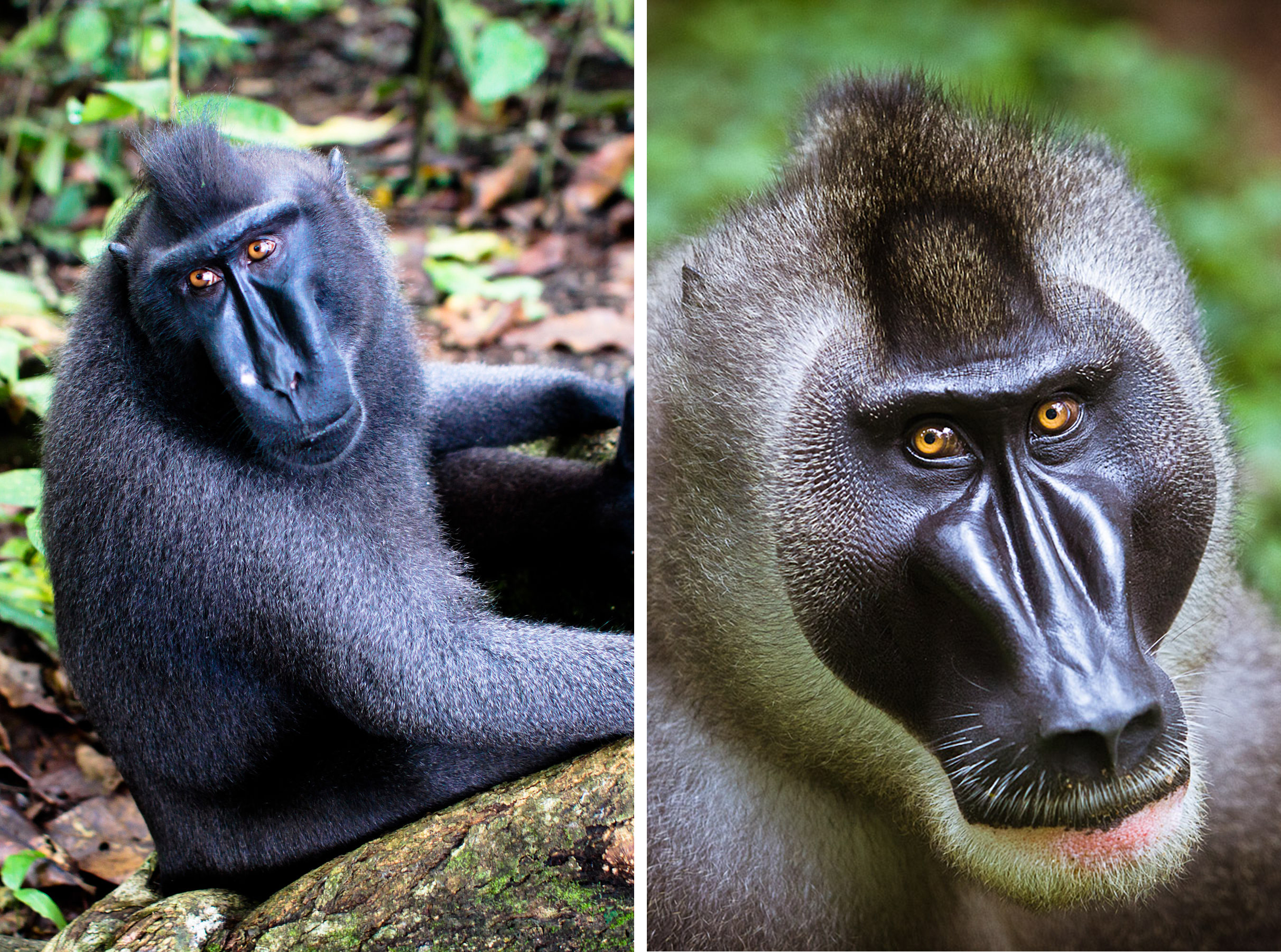 "Convergences in craniofacial shape between a Sulawesi crested macaque and a drill.  (Left image by Yi Chen vis Wikimedia Commons [https://commons.wikimedia.org/wiki/File%3ASulawesi_crested_macaque.jpg]. Right image from                             Normal     0                     false     false     false         EN-US     JA     X-NONE                                                                                                                                                                                                                                                                                                                                                                                                                                                                                                                                                                                                                                                                                                                                                                                                                                                                                                                                                                                                                                                                                                                                                                                                                                                                                                                                                                                                                                                                                                                                                                                                                                                                                                                                 /* Style Definitions */ table.MsoNormalTable 	{mso-style-name:""Table Normal""; 	mso-tstyle-rowband-size:0; 	mso-tstyle-colband-size:0; 	mso-style-noshow:yes; 	mso-style-priority:99; 	mso-style-parent:""""; 	mso-padding-alt:0in 5.4pt 0in 5.4pt; 	mso-para-margin-top:0in; 	mso-para-margin-right:0in; 	mso-para-margin-bottom:8.0pt; 	mso-para-margin-left:0in; 	line-height:107%; 	mso-pagination:widow-orphan; 	font-size:11.0pt; 	font-family:""Calibri"",sans-serif; 	mso-ascii-font-family:Calibri; 	mso-ascii-theme-font:minor-latin; 	mso-hansi-font-family:Calibri; 	mso-hansi-theme-font:minor-latin;}     http://intotheworld.eu/itw/wp-content/uploads/2011/11/IMG_4383.jpg)"