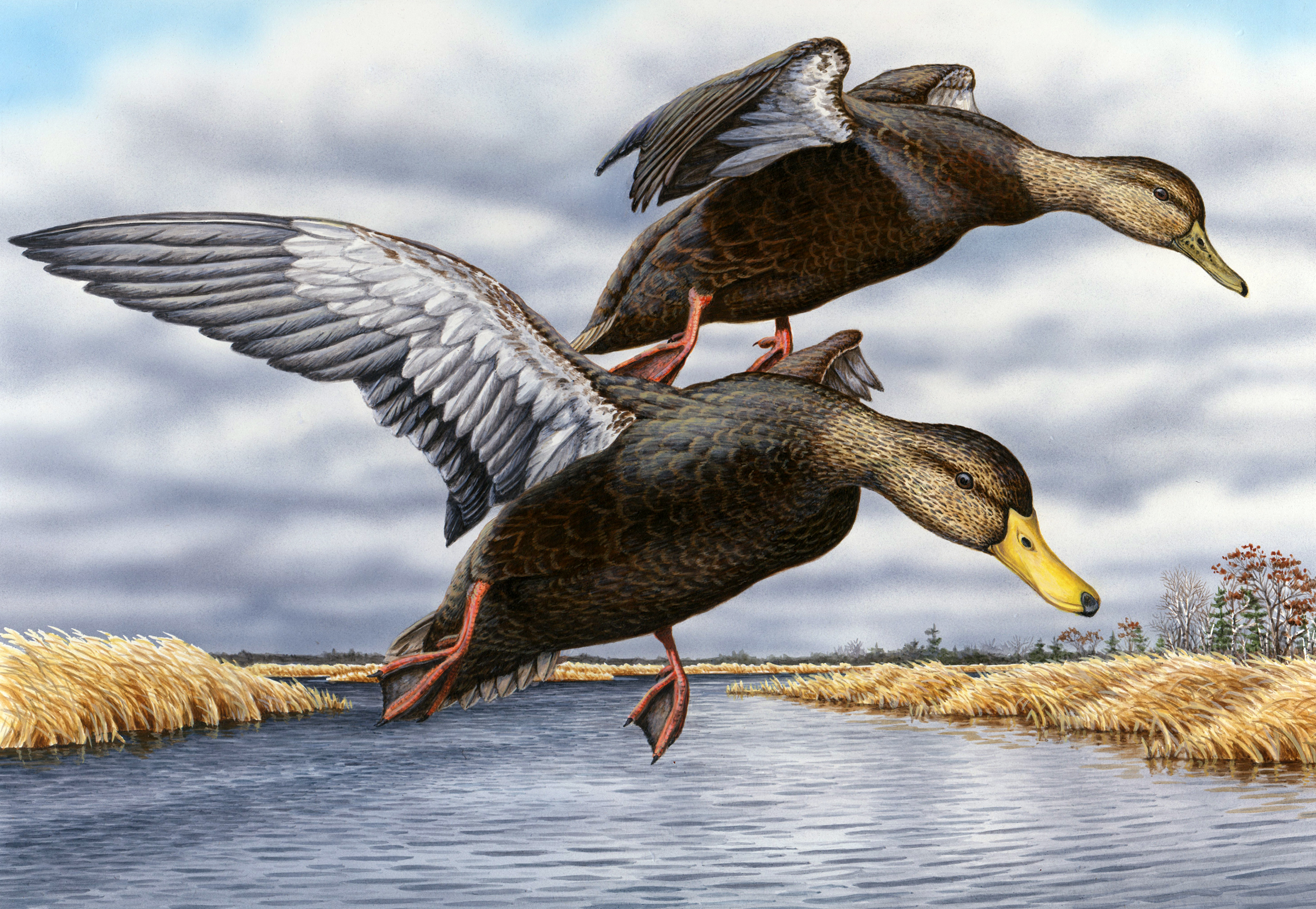 Backwater Black Ducks - 2013 MI Duck Stamp 2nd Place