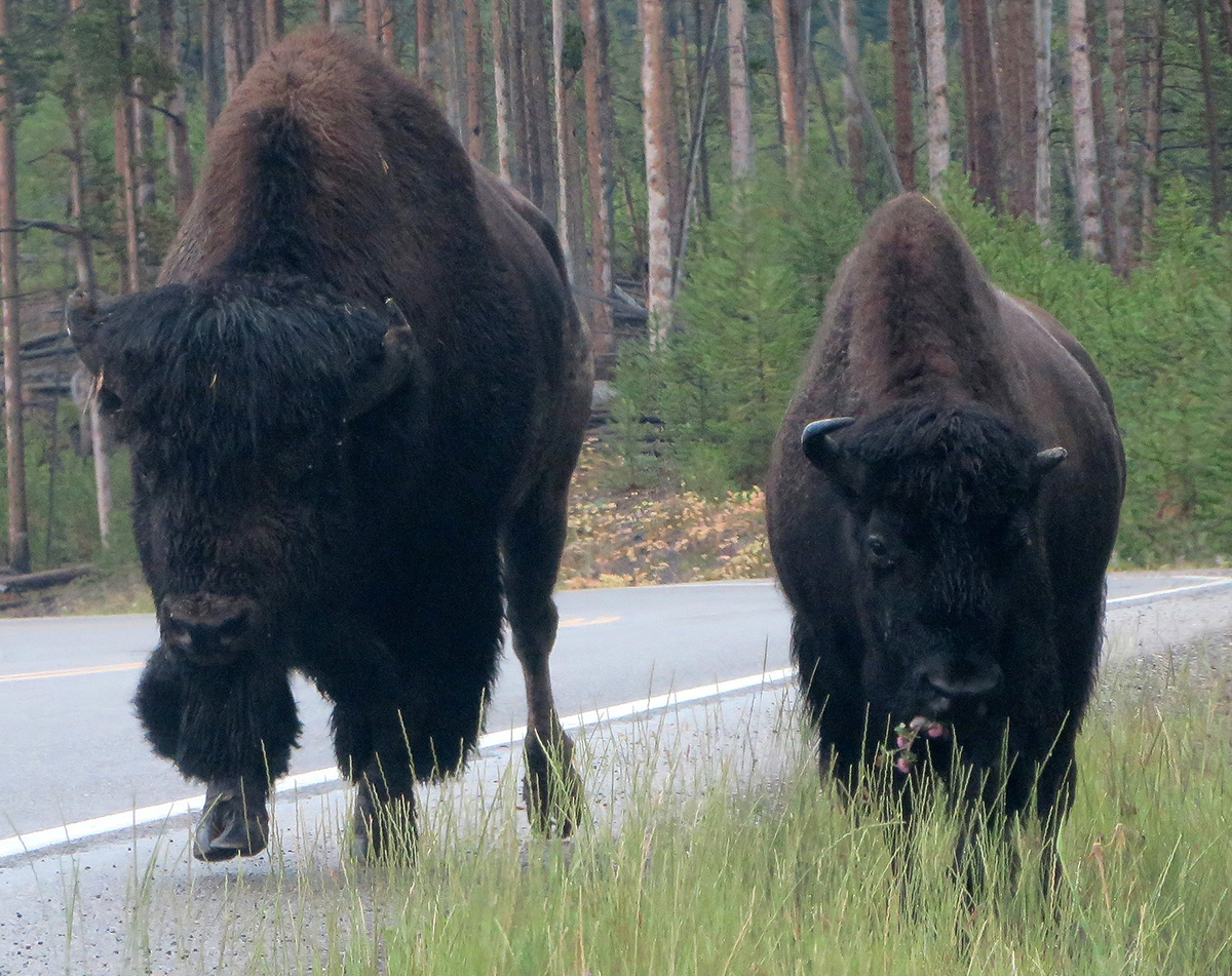 Bison patrolling the roads in Yellowstone