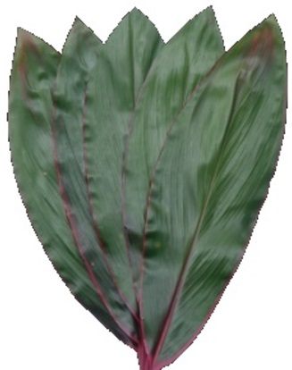 CORDYLINE GREEN WITH PINK EDGE