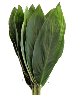 GREEN CORDYLINE