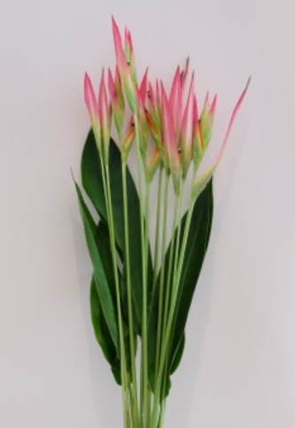 HELICONIA PINK