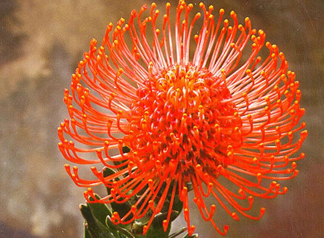 Cordifolium