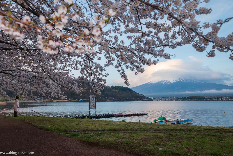 Lake Kawaguchiko, Mount Fuji, cherry blossoms, sakura, Fuji, Japan. Photo: Yuga Kurita. Image©www.thingstodot.com.