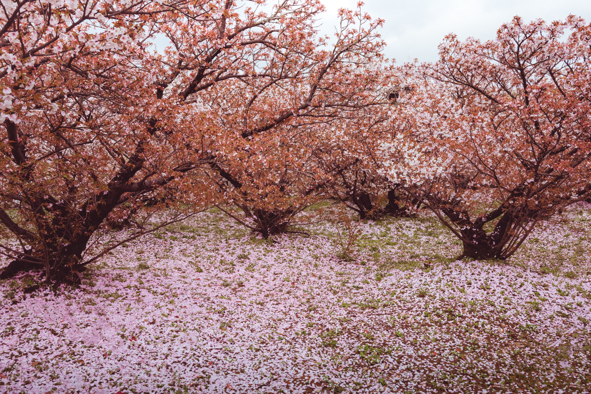 Ninnaji Temple, Kyoto, falling cherry blossoms petals. Photo © Gunjan Virk.