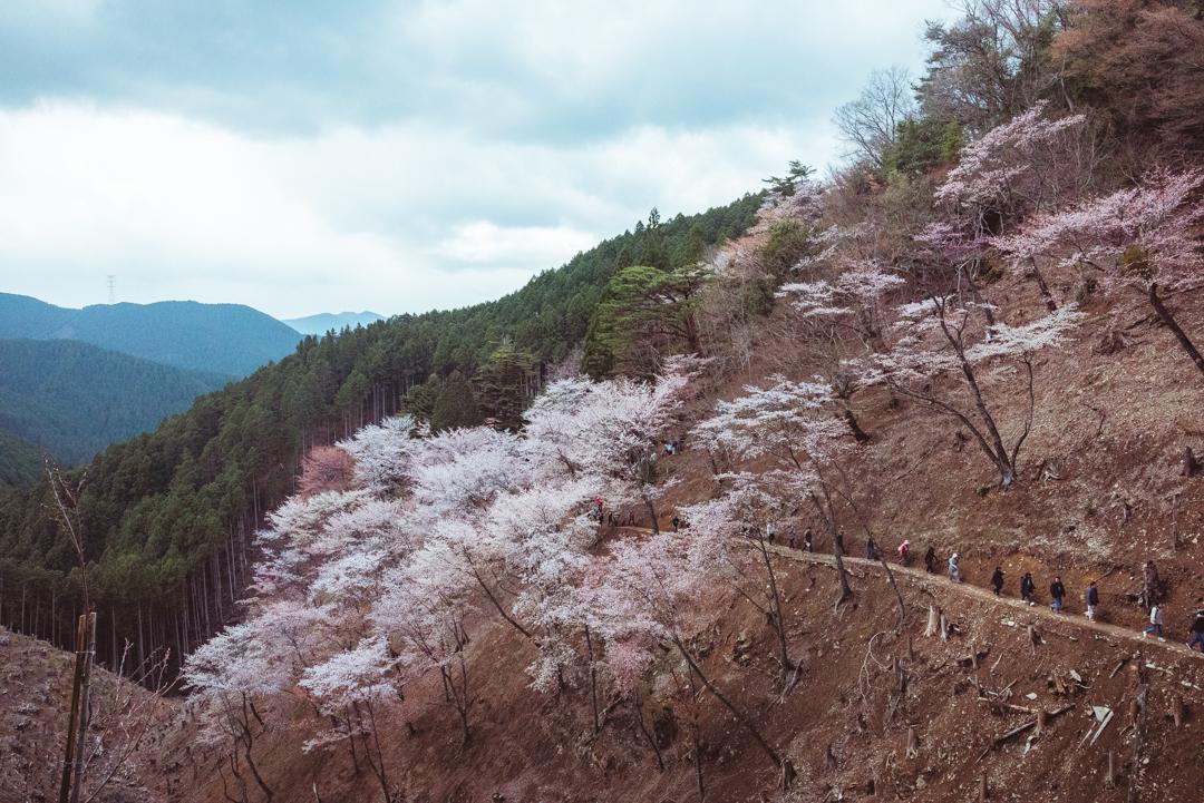 Mount Yoshino, Japan, cherry blossom viewing. Photo © Gunjan Virk.