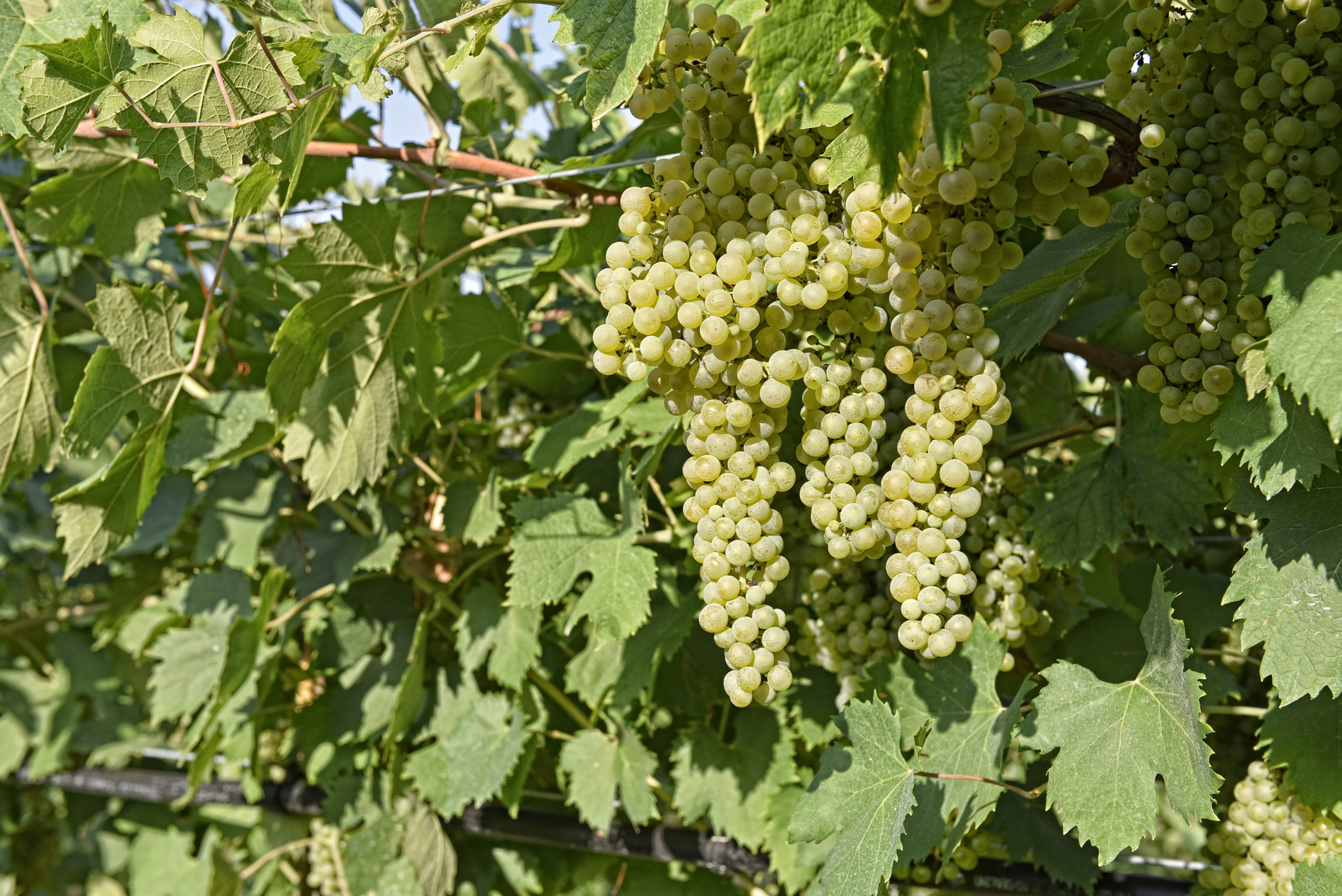 The vineyard and its fruits