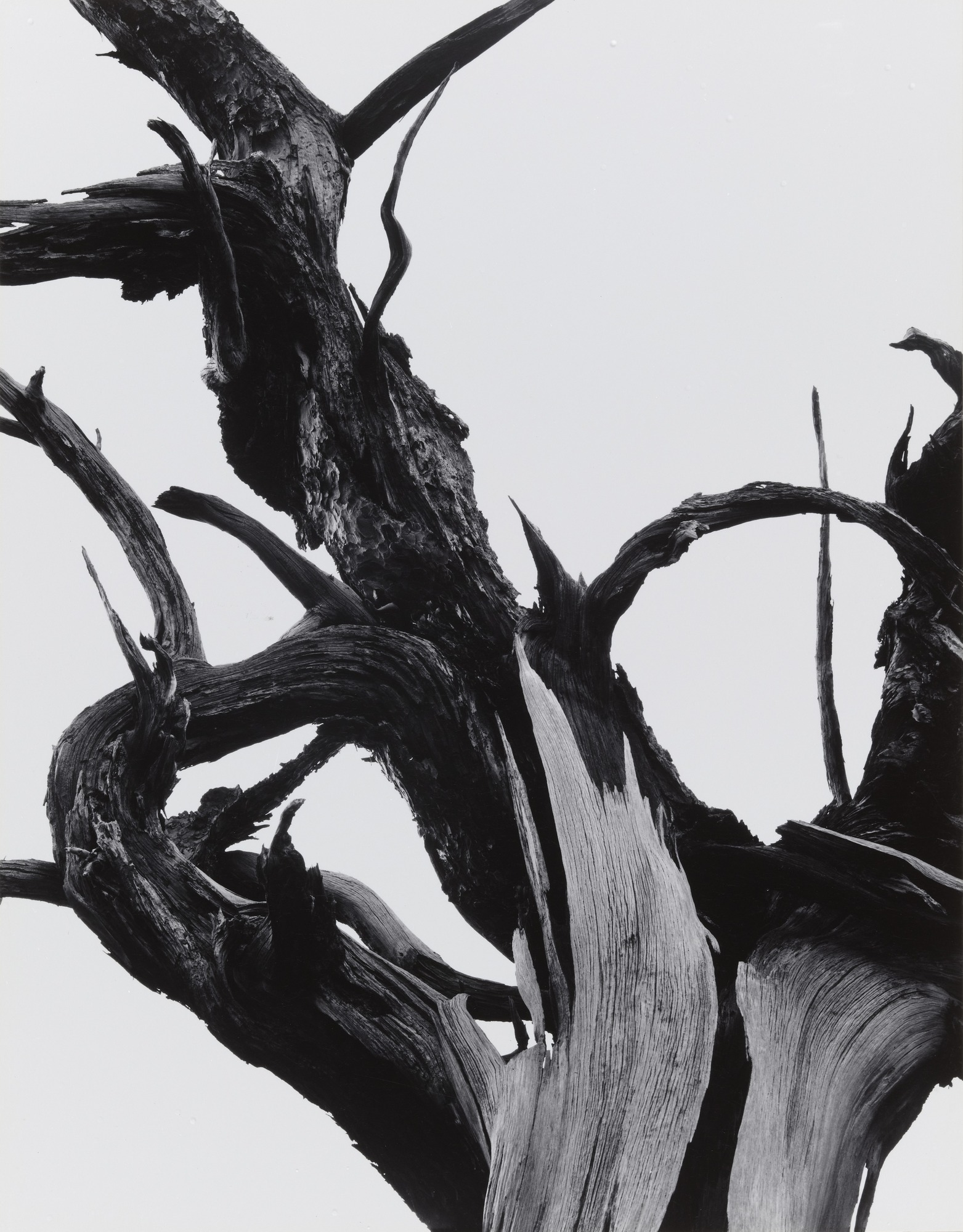 Ansel Adams / Dead Tree / Sunset Crater National Monument, Arizona / 1947