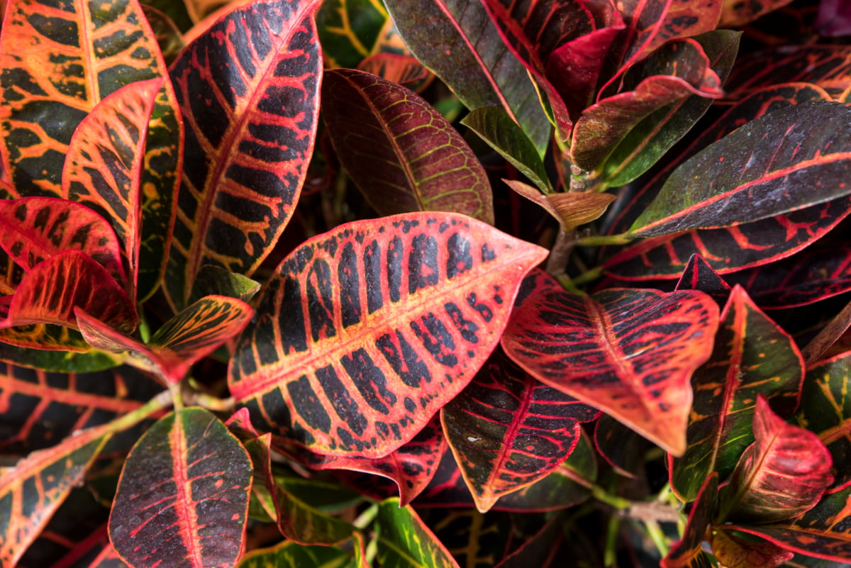 Croton plant at Shelldance Orchid Gardens
