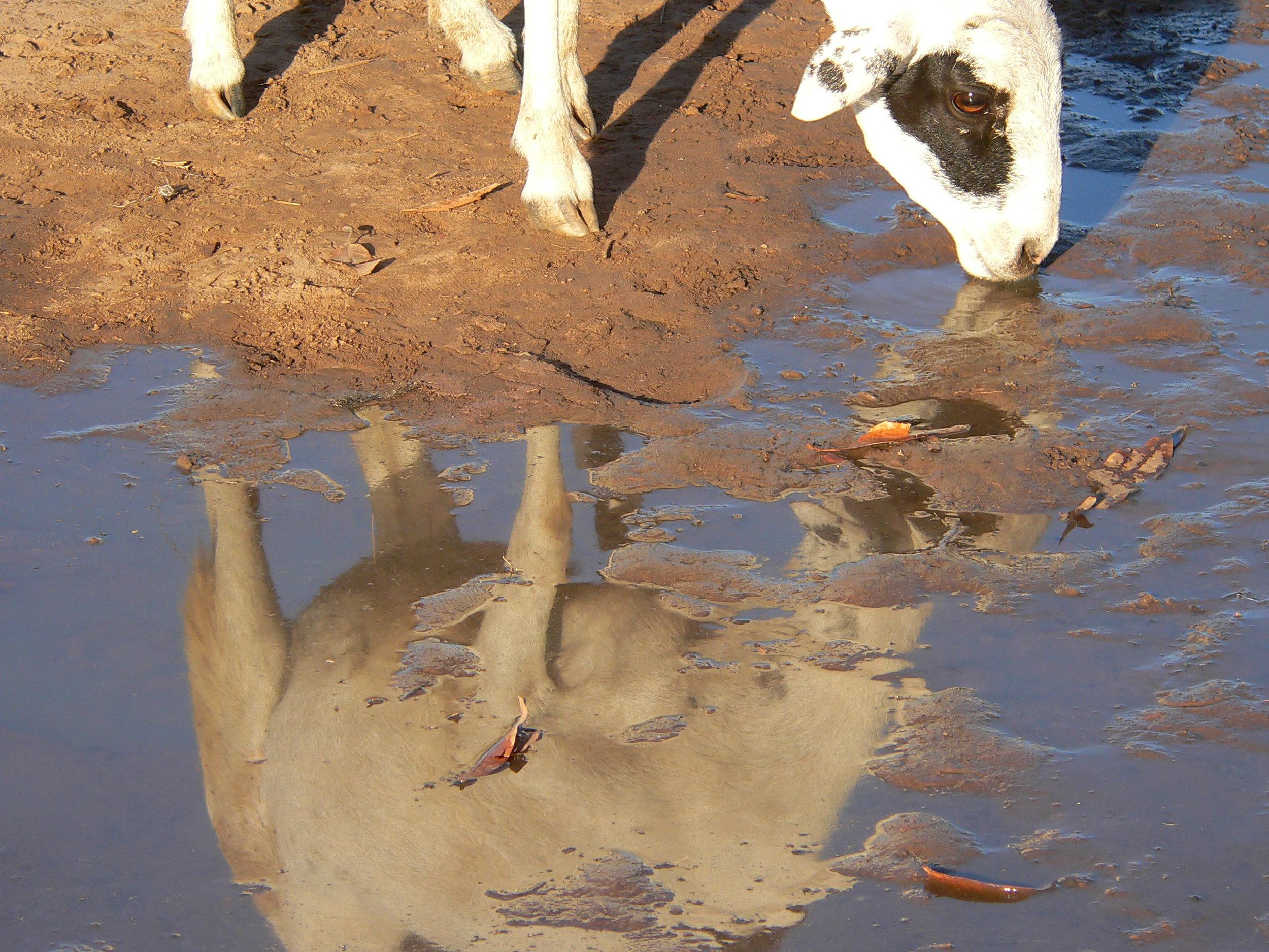 2-Le mouton s'abreuve et voit son ame prendre le dessus sur son corps.jpg