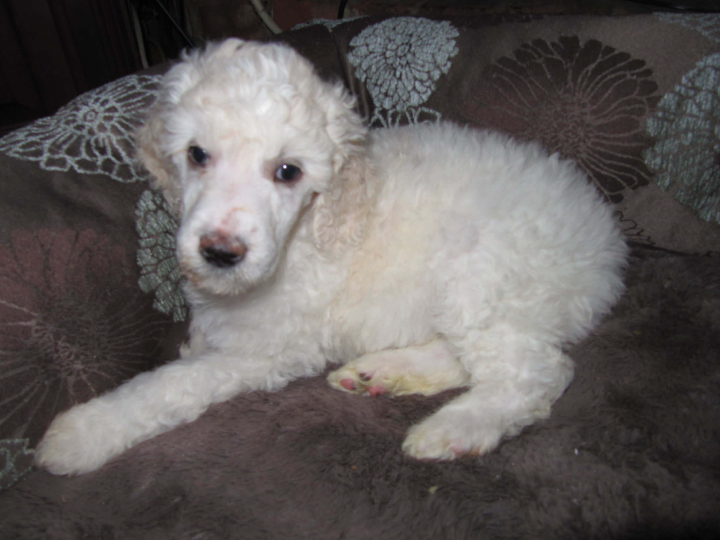Sugaree's name is Vanna and she wiles in Las Vegas with her sister Eva and a whole passel of poodles