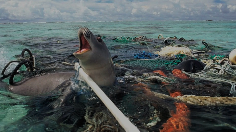 Seal trapped in ocean plastics | Photography by  Nels Israelson