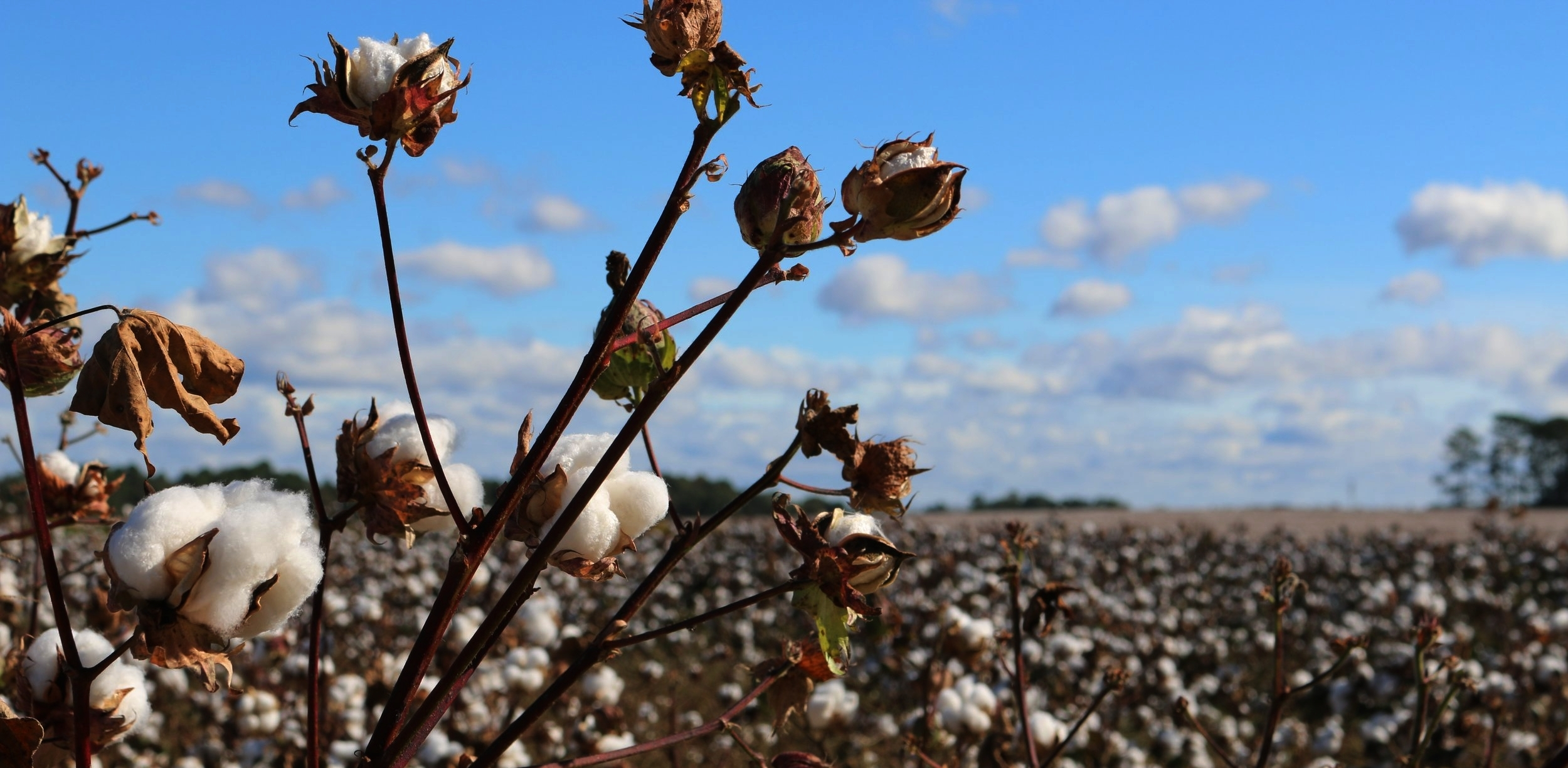 2.4% of theworld's croplandis planted with cotton,yet it accounts for24% of insecticides and11% of pesticides Globally. - - WWF