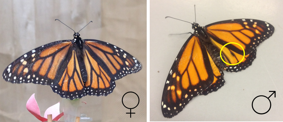 The yellow circle marks the male monarch's scent organ. Females do not have these specialized scales.